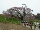三春の滝桜 遠景
