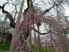 三春の滝桜 近景